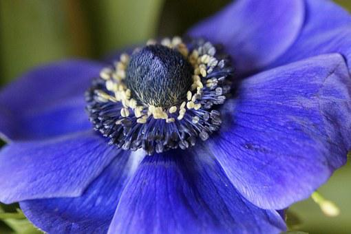 Anemone, Crown Anemone, Blue, Blossom, Bloom