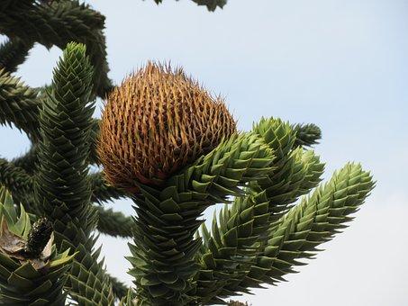 Araucaria Araucna, Monkey Puzzle Tree, Monkey Tail Tree
