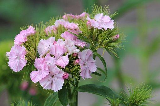 Bartrnelke, Blossom, Bloom, Carnation, Flower, Pink