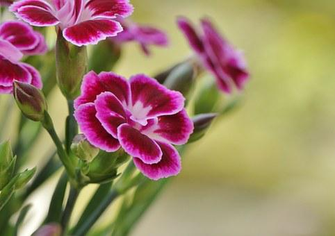 Carnation, Blossom, Bloom, Flower, Flora, Red, Pink