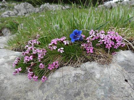 Soapwort, Gentian, Carnation, Flowers, Blue