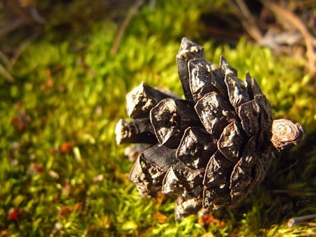 Pine Cone, Cone, Conifer Cone, Macro, Moss, Forest