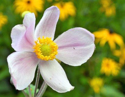 Anemone, Fall Anemone, Anemone Hupehensis