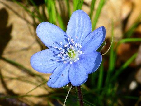 Hepatica, Flower, Blossom, Bloom, Violet, Purple