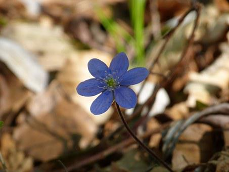 Hepatica, Flower, Blossom, Bloom, Violet, Purple