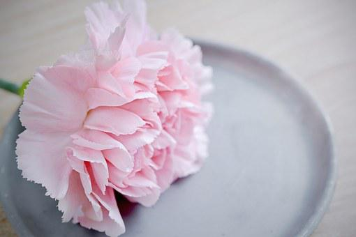 Carnation, Flower, Pink, Blossom, Bloom, Petals