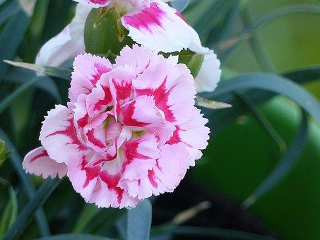 Carnation, Flower, Spring, Pink, Leaf, Colors