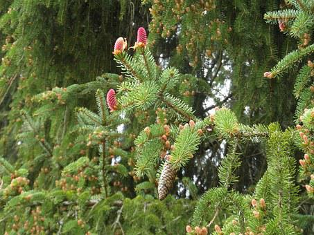 Spruce, Conifer, Pine Cones, Tap, Forest, Nature, Green