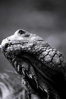 Iguana, Animal, Reptíl, Reptile, Lizard, Green