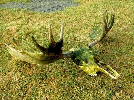 Moose, Skull, Dead, Rack, Alaska, Head, Elk, Horned