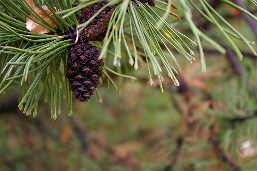 Pine, Needle, Tree, Green, Nature, Branch, Evergreen