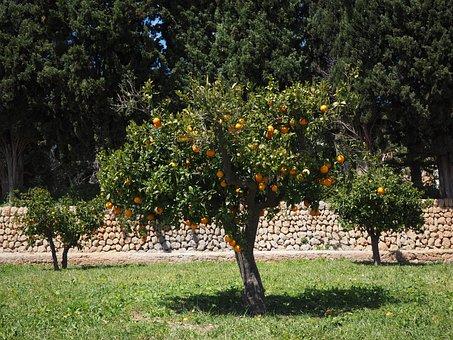 Orange Tree, Orange Grove, Plantation, Orangengargen