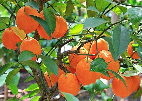 Oranges, Citrus Fruits, Fruits, Fruit, Orange Tree