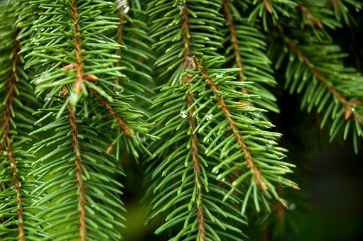 Conifer, Spruce, Tree, Park, Outdoors, Pine Cone
