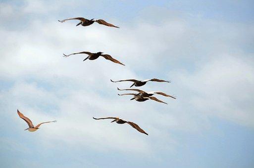 Pelicans Flying, Pelicans, Wildlife, Bird, Nature