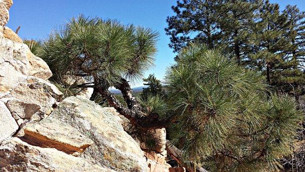 Pine, Ponderosa Pine Trees, Pine Trees, Nature, Rock