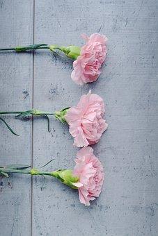 Carnation, Flower, Pink, Pink Flowers, Flowers