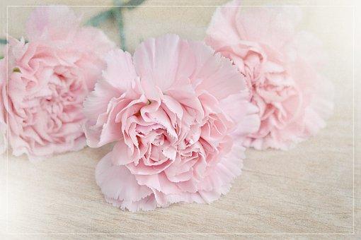 Flowers, Cloves, Pink, Carnation Pink, Petals, Three
