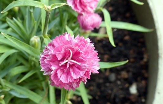 Carnation, Flowers, Pink, Petals, Blooms, Blooming