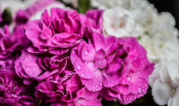 Carnation, Flowers, Purple, Nature, Close, Pink
