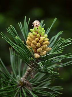 Pine, Mountain Pine, Pinus Mugo, Pine Needles