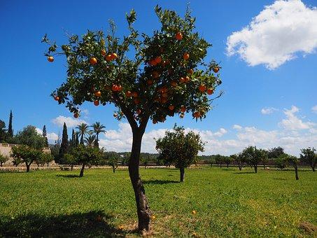 Geraniums, Orange Tree, Orange Grove, Plantation