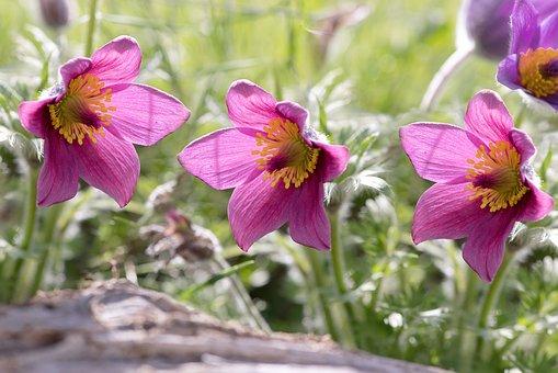 Common Pasque Flower, Pulsatilla Vulgaris, Flower