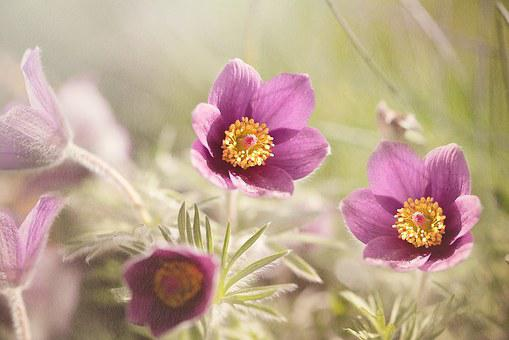 Common Pasque Flower, Pulsatilla Vulgaris, Flower
