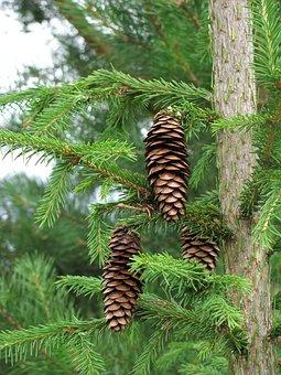 Spruce, Pine Cone, Needles, Summer, Branch, Plant