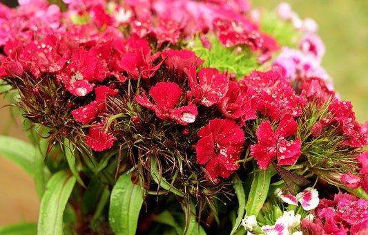 Sweet William, Flower, Flowers, Pink, Red