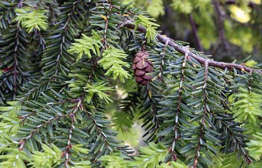 Hemlock, Tree, Cones, Background, Texture, Country