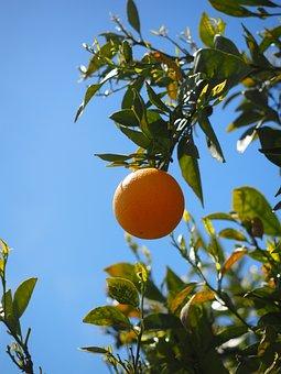 Orange, Fruit, Orange Tree, Citrus Fruit, Tree