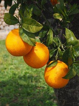 Oranges, Fruits, Orange Tree, Citrus Fruits, Tree