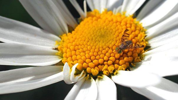 Daisy With Bohrfliege, 8 Mm, Female, Bohrfliegen