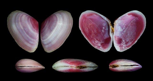 Eurytellina Lineata, Shells, Seashells, Macro, Close-up
