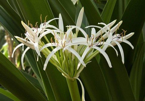 Flower, Plant, Crinum Pedunculatum, Garden, Nature