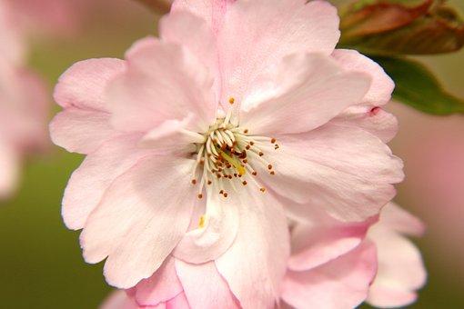 Cherry Blossom, Flowers, Blossom, Spring, Bloom, Pink