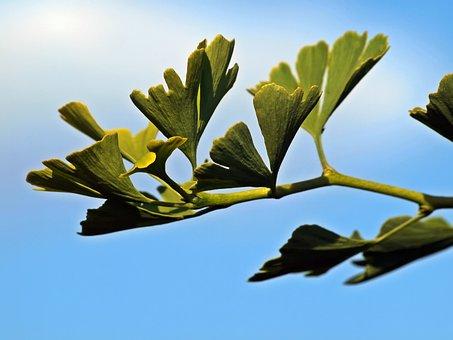 Gingko, Leaves, Branch, Young Gingko Tree, Young
