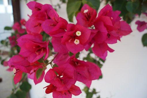 Bouganvilea, Pink, Flower, Pink Flower, Garden