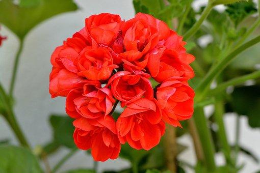 Bergonie, Flower, Plant, Blossom, Bloom, Red