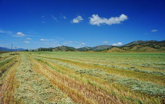 Field, Mown Buckwheat, Sky, Blue Sky, Summer, Clouds
