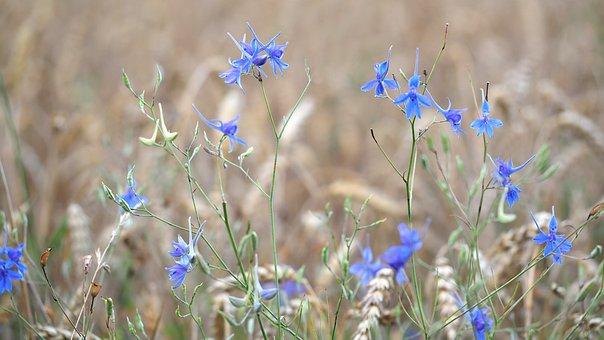 Rain Field, Larkspur, Cereals, Wild Flowers