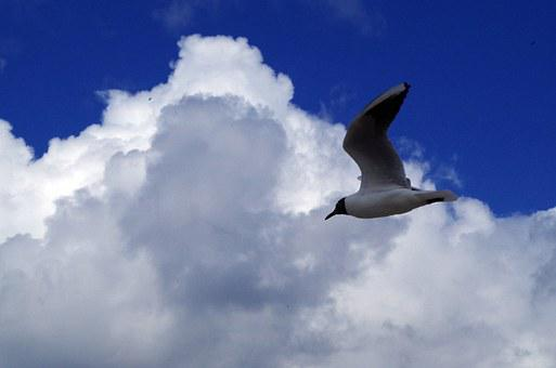 Seagull, Sky, Nature, Flight, Freedom, Clouds