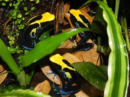Poison, Dart, Frog, Amphibians, Yellow Skin