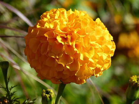 Chrisanthenum, Yellow, Flower, Close-up, Nature, Plant