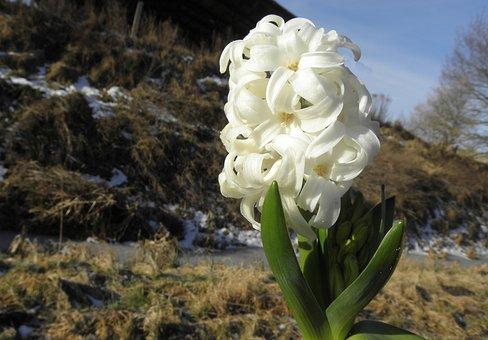 Hyazinte, Flower, Early Bloomer, White