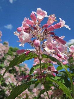 Kolkwitzia Amabilis, Beauty Bush, Shrub, Flora, Botany