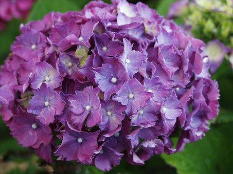Gartenhotensie, Blossom, Bloom, Flowers, Purple, Plant