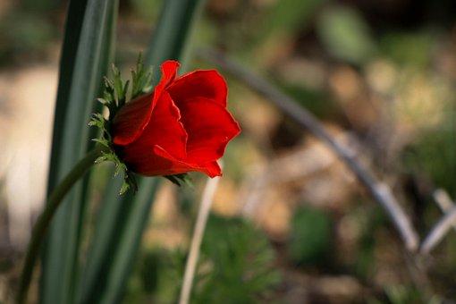 Flower, Red Flower, Single, Love, Poppy, Red, Flora