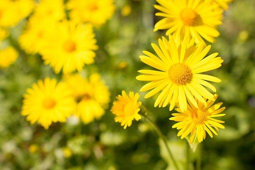 Flowers, Daises, Garden, Yellow, Nature, Blooming